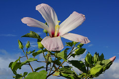 Mallow in the morning sun (purduebob) Tags: sp mallow flower