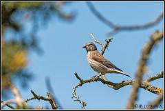 _DSC0301_Linotte mélodieuse (patounet53) Tags: cardueliscannabina commonlinnet fringillidés linottemélodieuse passériformes bird oiseau