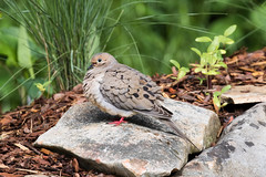 Mourning Dove (Zenaida macroura), Maury County, Tennessee (kmalone98) Tags: abstract wildlife mourningdove malonecreek dovesandpigeons columbidae zenaidamacroura aves