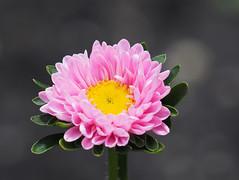 kwiat Blume flower (arjuna_zbycho) Tags: kwiat blume flower natur lipiec
