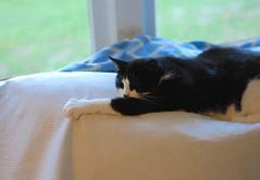Tina (rootcrop54) Tags: tina female tuxedo cat claws sofa couch window neko macska kedi 猫 kočka kissa γάτα köttur kucing gatto 고양이 kaķis katė katt katze katzen kot кошка mačka maček kitteh chat ネコ