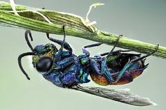 Chrysididae, Cuckoo Wasp (dorolpi) Tags: