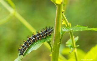 A multi-colored caterpillar