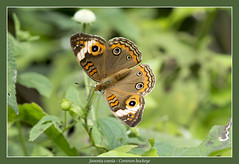 Common buckeye (Jan H. Boer, Nature photographer) Tags: junoniacoenia commonbuckeye butterflies insects nature macro costarica turrúcares nikon d5200 afsnikkor200500f56eedvr jan´sphotostream2017