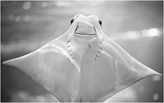 Untitled (Steve Lundqvist) Tags: highqualityanimals manta ray fish sea ocean animal nature life stockholm sweden skansen summer 2012 steve lundqvist boat geography zoo zoology aquarium getty image travel djurgården explore explorer aquaria water museum