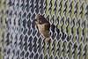 Linotte mélodieuse - Common Linnet (Linaria cannabina) ♀ - Saint-Priest - La Mauguette (Rhône) France, le 13 juin 2017 (Loïc Le Comte) Tags: sigma150600 linottemélodieuse commonlinnet linariacannabina saintpriest lamauguette