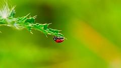 It's a Bug (YᗩSᗰIᘉᗴ HᗴᘉS +6 500 000 thx❀) Tags: coccinelle bug insect green macro hensyasmine nature panasonic