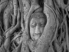 Thailand - Buddha Head In A Tree B&W (JimP (in Sarnia)) Tags: tree banyan bodhi head statue buhhda temple mahathat wat park historical ayutthaya bangkok thailand