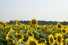 (cocomo7) Tags: sunflowers memphis 2017 july summer flowers