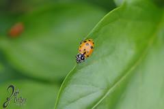Macro-LadyBugs_218 (ZieBee Media) Tags: ladybug garden