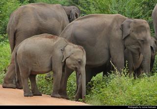 Elephants, Uda Walawe NP, Sri Lanka