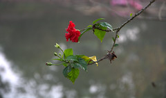 Red Beauty (Sajeeb75) Tags: nature flower tree summer branch leaf garden blur flora outdoors growth no person