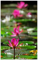 Water-lily - 1480836 (willfire) Tags: willfire singapore flora flower nature life growth waterlily pong pink align lotus leaves