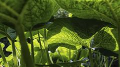 Pumpkin world (Akito-X) Tags: canoneos7dmarkii forest green grün kürbis pflanze plant pumpkin sigma30mmf14dchsmart wald welt world