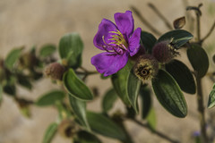 Purple flower (Keith Kelly) Tags: anlongklong asia cambodge cambodia kh kampuchea keithkelly krakor pursatprovince southeastasia country countryside farmland flower keithakelly leaves plant purple rural pouthisat