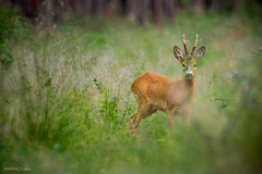 Roe deer (Incredible Imagination) Tags: boar estonia estland viro colours wild outside trees grass green animal nature woods forrest long nocrop