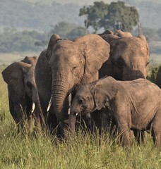 Closeness in the Wild (The Spirit of the World) Tags: elephants babyelephant family themara masiamara kenya gamereserve nationalpark mist dew safari gamedrive mammals