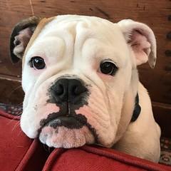 Love at first sight:Teddy (saudades1000) Tags: perro cachorro dogportrait animal pet americanbulldog dog bulldog