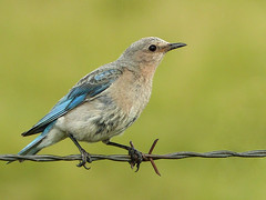 Mountain Bluebird female (annkelliott) Tags: alberta canada swofcalgary nature wildlife ornithology avian bird birds mountainbluebird sialiacurrucoides turdidae sialia female adult frontsideview perched fence barbedwire secondsetofbabies grass field bokeh outdoor summer 20july2017 fz200 fz2004 annkelliott anneelliott ©anneelliott2017 ©allrightsreserved excellence avianexcellence