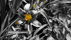 DSC00701 (Aldona Induła) Tags: sony a6000 bezedycji flower garden kwiat notedited ogród prostozaparatu straightfromthecamera