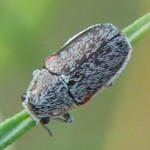 Case-bearing Leaf Beetle thumbnail