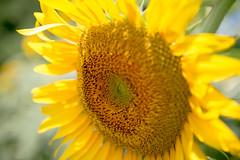 Sunflower #1 (yamabuki***) Tags: asc3698 向日葵 ヒマワリ