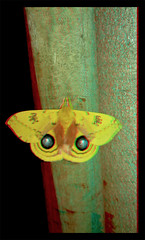Automeris IO, Male Peacock Moth - Anaglyph 3D (DarkOnus) Tags: pennsylvania buckscounty huawei mate8 cell phone 3d stereogram stereography stereo darkonus closeup macro insect automeris io male peacock moth anaglyph