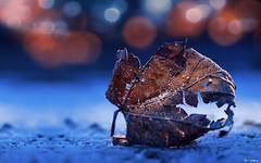leaf no.3 (ByHansen) Tags: leaf strobist water puddle winter orange blue frozen cold cto tungsten olympus 135mm