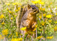 """In a Sea of Dandelions"" Eastern Fox Squirrel (Cathy Lorraine) Tags: easternfoxsquirrel squirrel nature outdoors dandelions flowers sunshine bright adorable animal huntingtonbeach california coth5 ngc sunrays5 npc"