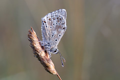 Chalk hill blue roosting (Steve Balcombe) Tags: insect butterfly chalkhill blue lycaenidae polyommatus coridon male poldens poldenhills poldenway somerset uk