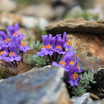 linaires des Alpes thumbnail