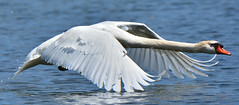Swan Take Off (hd.niel) Tags: nature wildlife ontario lake swans mute photography