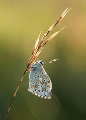 Chalkhill Blue (Max Thompson Photography) Tags: nature wild wildlife macro bokeh depth detail light chal hill blue chalkhill somerset south west england uk sun sunrise butterfly lepidoptera polden ridge back rim roost dew