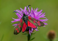 JWL6833  Burnet.. (jefflack Wildlife&Nature) Tags: sixspotburnet burnet moths moth insects insect lepidoptera wildlife wetlands woodlands glades copse wildflowers countryside nature