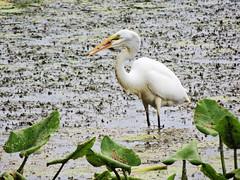 62 (12) (A. Georgis) Tags: egret birds marsh philadelphia tinicum