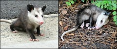"""""""Playing Possum"""", a Little Thing that turned out to be a happy experience. (Bennilover) Tags: opossum possums possum playingpossum playingdead mammals baby babies scared sleeping shock animals animal wild wildanimal explore"""
