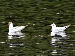 Seagulls swimming on the Werdersee Bremen (robárt shake) Tags: seagull werdersee bremen weser nature natürlich tiere animal vogel bird raindrops rain sea fuss river water schwimmen swimming möven seemöve