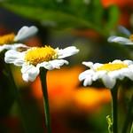 Volunteer Flowers thumbnail