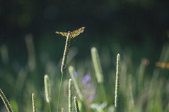 (amy20079) Tags: nikond5100 newengland halloweenpennant dragonfly macro bug insect