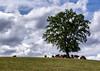 Réunion au sommet (2) (Jacq-R) Tags: animal arbrearbuste concret etrevivantanimalvégétal hdr mammifère tétrapode vertébrés végétal arbre bovidé
