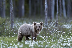 Brown Bear, Cub (Ursus arctos) (Ron Fullelove) Tags: ronfullelove photography ursus arctos brown bear cub forest englanduk cotton grass flowers trees mammal fur paws ears wwwronfullelovephotographycom