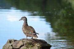 Mandarin Duck on the river wye (deanmorgan4) Tags: mandarinduck waterfowl feathers wildlife rock river bird england nature