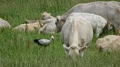 Stork and Cow - Moritzburg, DE (André-DD) Tags: storch vogel bird animal tier kuh cow wiese meadow field deutschland germany moritzburg sachsen saxony animals tiere