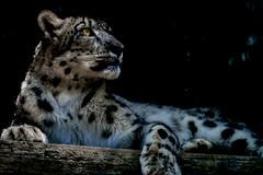 Stateliness worn on cold climates (hixar) Tags: tamazoo japan 多摩動物園 日本 snowleopard 雪豹 stateliness eye 瞳 目 毛皮 毛並み ヒョウ柄 lepoardpattern leopardpattern