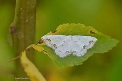 ... Scopula ornata (Plebejus argus) Tags: scopulaornata geometridi falene moths lepidotteri insetti nikond7000 sigma150macro monti lepini lazio italia