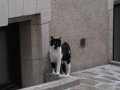 Cat (catan butterfly) Tags: cat wildlife félin noir blanc domestic olympus 45mm 90mm f18