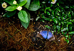 Hampton Court Flower Show 2017 (Simon Caunt) Tags: hampton court hamptoncourt flowershow 2017 london londonseason butterflies butterfly nikond800 nikoncameras afsnikkor2470mmf28 240700mmf28nikkor d800