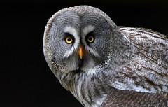 Attentively (Nephentes Phinena ☮) Tags: bartkauz greatgreyowl nikond500 sigma70300mmmacro wildparkeekholt falknerei falconry