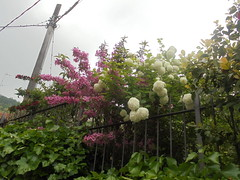 167 (en-ri) Tags: ortensie flowers fiori rosa bianco foglie leaves sony sonysti arbusto