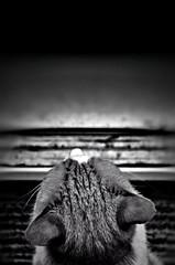 Just watching the world go by (CJS*64) Tags: nikon nikkorlens cjs64 craigsunter cjs blackwhite bw blackandwhite whiteblack whiteandblack mono monochrome lookout lookingout nikond7000 d7000 2485mmf3545gedvr cat watching pet